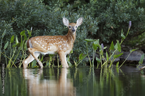 Fotobehang Natuur White-tailed Deer fawn drying off after a morning swim