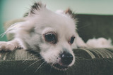 Cool white fluffy dog resting on a green sofa. German Spitz with blue eyes