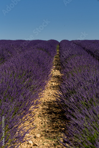 Canvas Aubergine Purple lavender field in Valensole, France