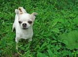 A small dog breed Chihuahua.