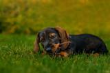 Dachshund puppy dog in the grass bites a stick