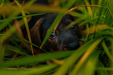 Dachshund puppy dog lies covered with grass
