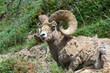 Bighorn Sheep Ram in Jasper National Park, Alberta, Canada