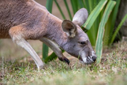 Plexiglas Kangoeroe Kangaroo Baby