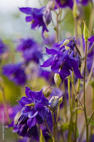 violet aquilegia flowers - 215561452