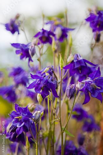 violet aquilegia flowers - 215561458