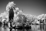 Palm Lagoon in Infrared - 215576678