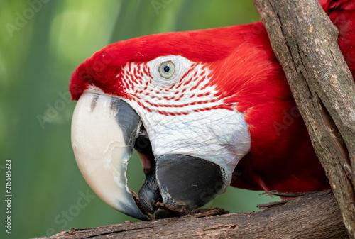Foto Spatwand Papegaai Macaw