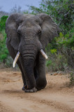 Manmouth African Elephant