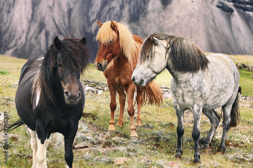 Iceland horse travel landscape - icelandic horses in nature.