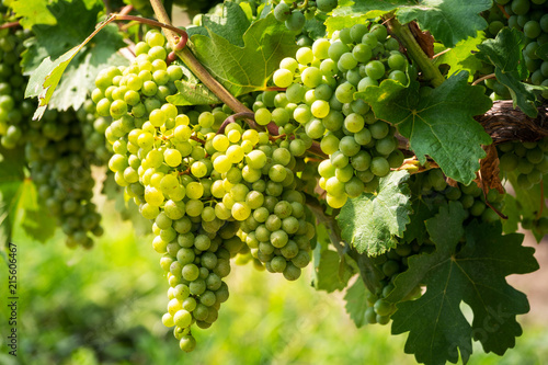 Leinwandbild Motiv Grüne Trauben auf Weinrebe