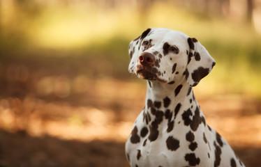 dog breed Dalmatian on a walk beautiful portrait © serova_ekaterina