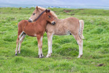 Junge Islandpferde - 215628662