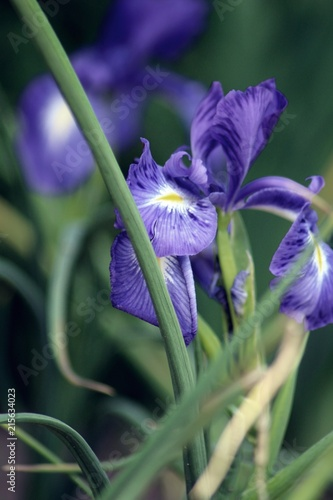 Canvas Iris Purple Iris Dark Background
