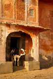 A cow coming out of an old building that looks like a temple    Jaipu