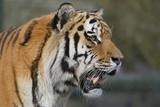 Sibirische Tiger (Panthera tigris altaica) oder Amurtiger, Ussuritiger
