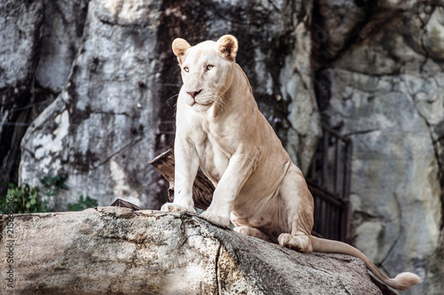 Canvas Lion White Lion , Panthera leo.