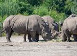 Group of big adult African black rhinoceros eating grass in safari park