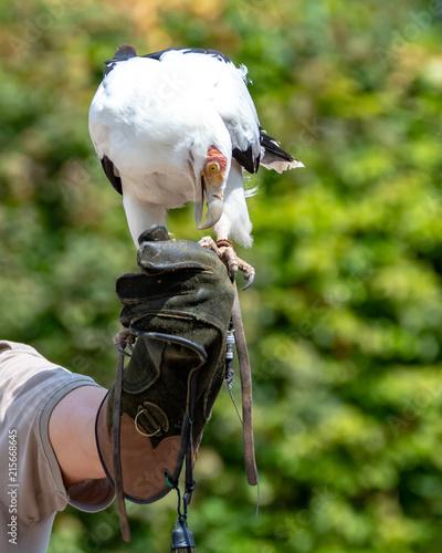 In de dag Canada Palmnut Vulture, large white-black bird in safari park close up