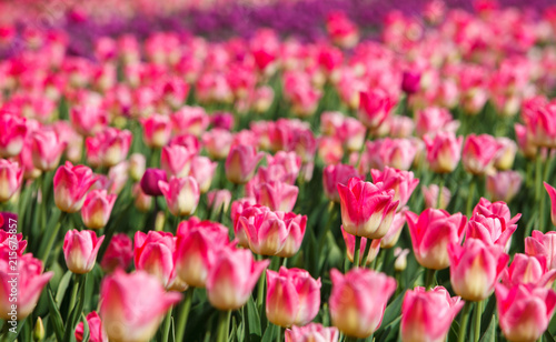 Canvas Candy roze Beautiful tulip flowers grow in the field