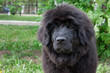 Cute newfoundland puppy is sitting on a green grass.