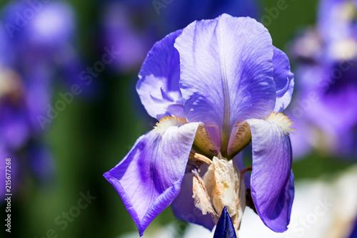Aluminium Iris Decorative magenta and purple iris blossoms