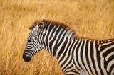 zebras on african safari