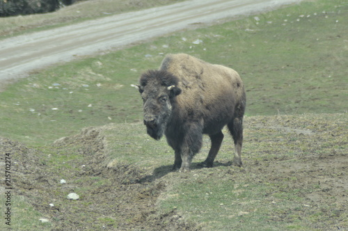 Canvas Bison Canada Wildlife