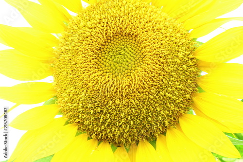 Canvas Zwavel geel summer blossoming sunflower isolated on white background