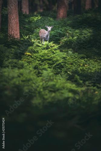 Canvas Hert Fallow deer between ferns in forest.