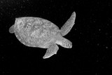 Turtle in black and white