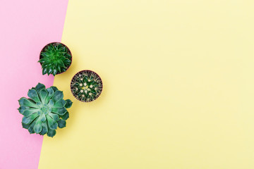 Succulent plants on color paper background