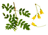 Set of fresh green leaves and yellow flowers of Siberian peashrub - 215754612