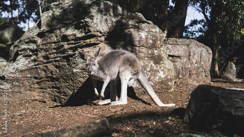 Plexiglas Kangoeroe Känguru