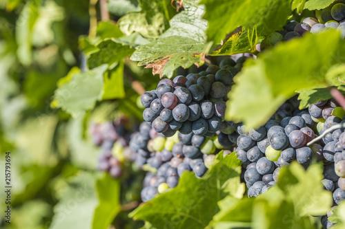 Foto Spatwand Wijngaard blue grapes in vineyard