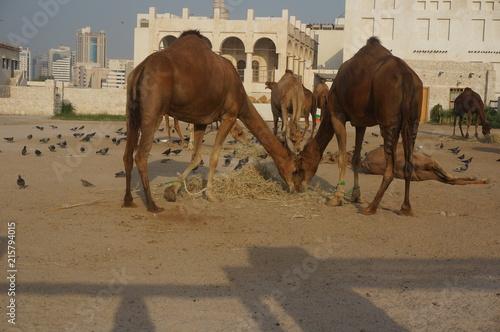 Fotobehang Kameel Qatar Doha