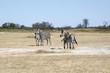 Damara zebra, Equus burchelli antiquorum, in high grass Moremi National Park, Botswana