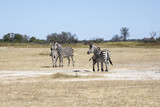 Damara zebra, Equus burchelli antiquorum, in high grass Moremi National Park, Botswana - 215797806