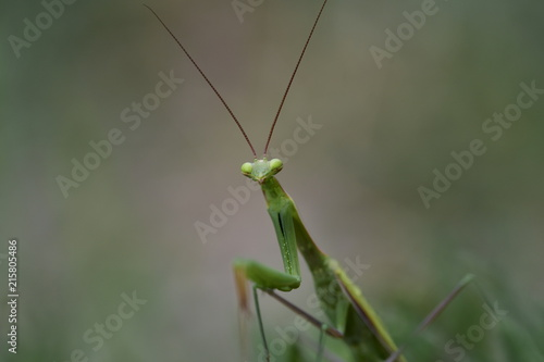 Foto Murales clouse up praying mantis