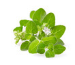 Quadro Oregano flowers on white background
