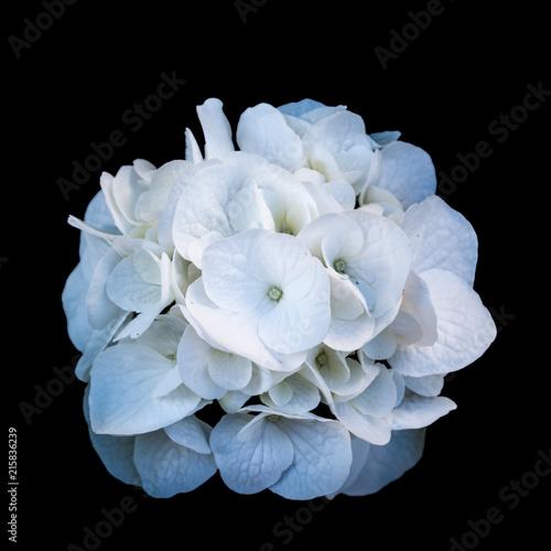 Foto Spatwand Hydrangea Isolated white hydrangea