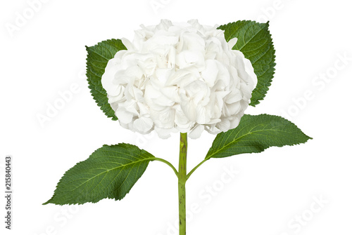 Wonderful white  hydrangea