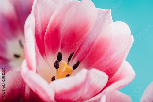 Close-Up Details Of Pink Tulip Flower