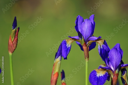 Canvas Iris Schwertlilie Blume blau lila