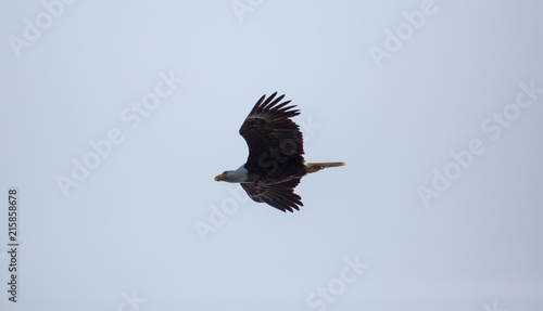 In de dag Canada Bald Eagle gliding