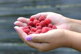 Gardening,cultivation and care of fruit concept: hands of women holding fresh and red raspberries collected in the garden.