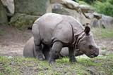 little rhinoceros - 215868084