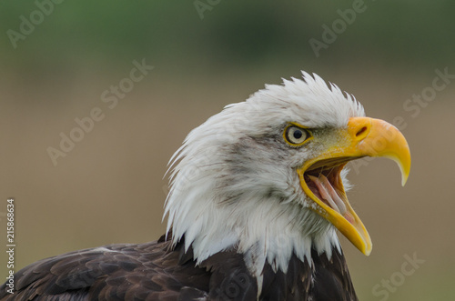 Foto Spatwand Eagle bald eagle head shpt close up