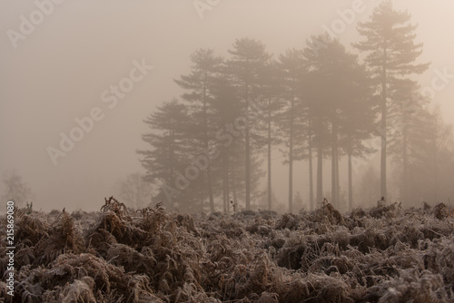 trees in the new forest mist