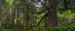 Quadro Panoramic view of trees and underbrush in Oregon's coastal rainforest.